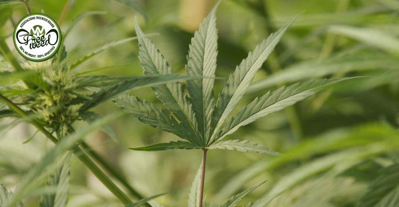 Progetto FreeWeed - Legalizzazione Cannabis
