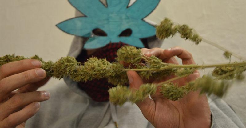 Autoproduzione cannabis terapeutica Genova