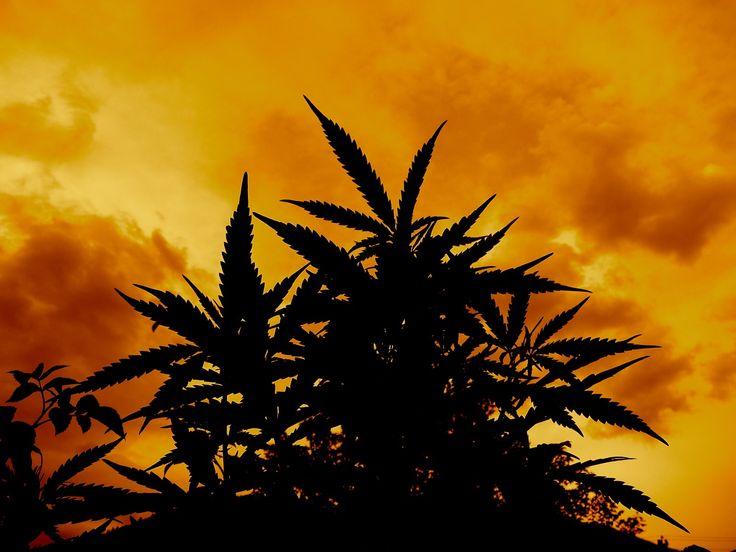 683e25b74868f4e8f715a7ba299e97aa--cannabis-wallpaper-weed-wallpaper